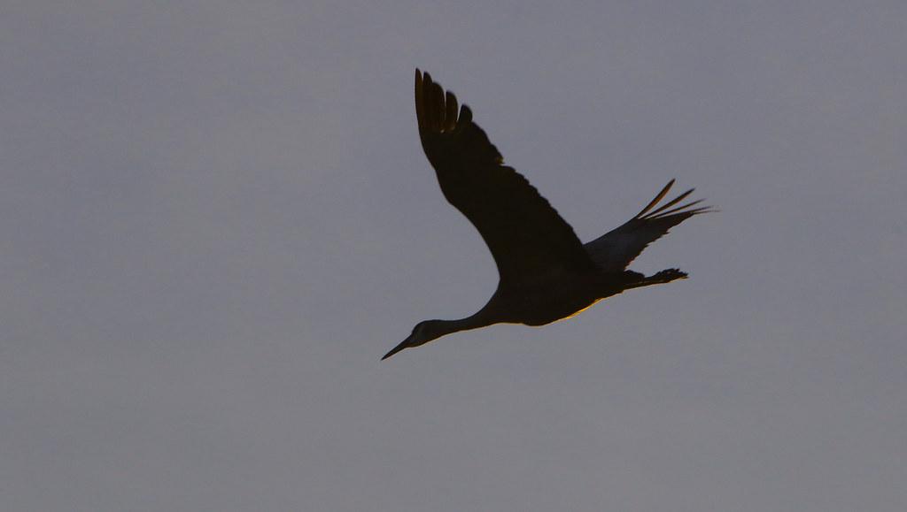 It Was Twilight And Sandhill Cranes >> Twilight Flight Sandhill Crane Grus Canadensis Ladd Flickr