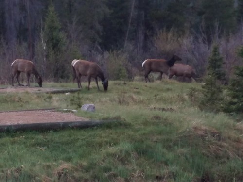 Elk at Timber Creek Campground, RMNP. | by WY0WDR