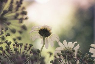 Daisies with a lovely bokeh | by kaffealskare