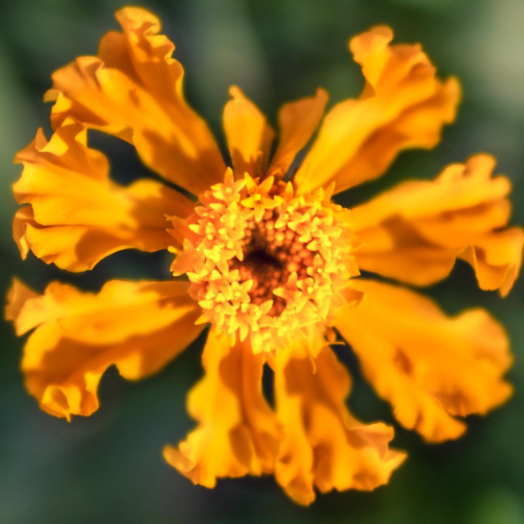 flower fibonacci can you see the fibonacci sequence if yo flickr