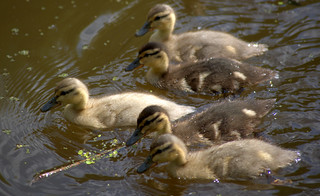 Baby ducks on the canal - 1 | by Tony Worrall