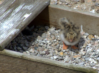 Baby Tern Chick | by Tony Worrall