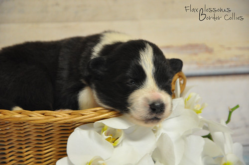 13-08 nieuws pup4b | by flaxblossoms.be