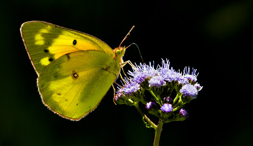 Backlit Orange Sulphur | by Bernie Kasper (5 million views)