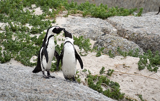 NKB_9206 penguin courting | by nirmalkbaid