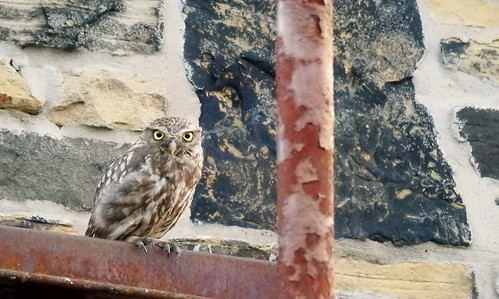 Little Owl. Rainford, August 2018 | by Danny Foy