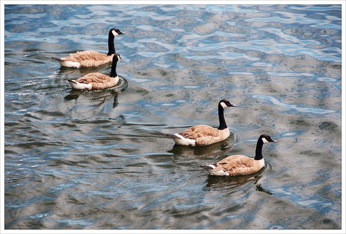 Canada Geese | by Free 2 Be
