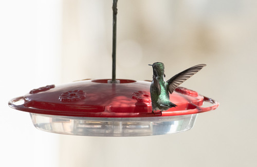 hummingbird_feeder-20180819-104 | by dagnyg