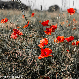Wild Poppies | by PapaPiper