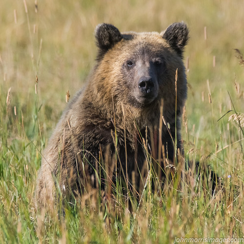 Grizzly Bear1-3693 | by jrmorris-mt
