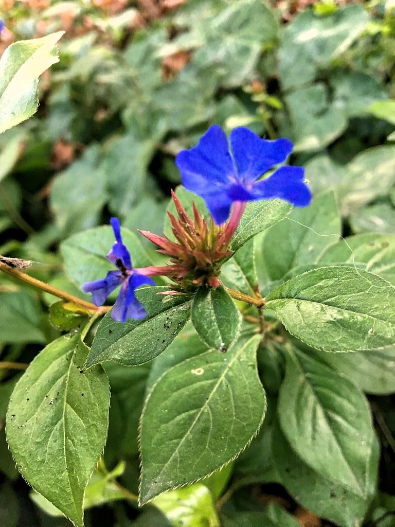 Tiny Blue Flowers Sylvia Okkerse Flickr