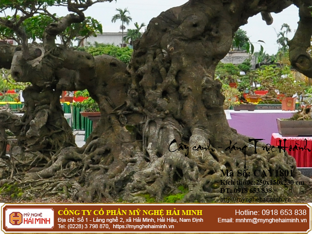 Cay Sanh Dang Truc Hoanh mynghehaiminh CAY1801b