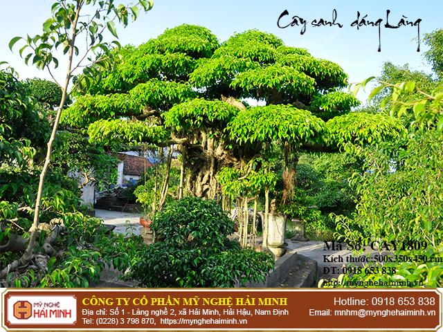 Cay Sanh Dang Lang mynghehaiminh CAY1809b