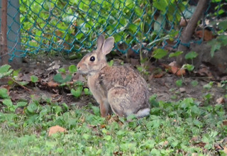 2018-08-20 (4) cottontail rabbit in back yard | by JLeeFleenor