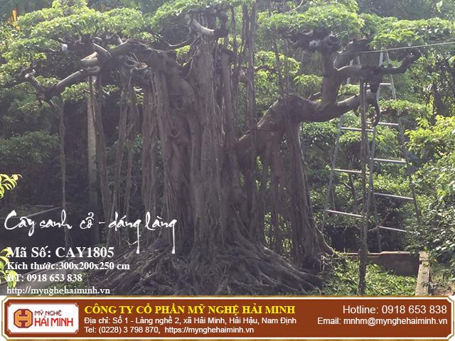 Cay Sanh Co Dang Lang CAY1805d
