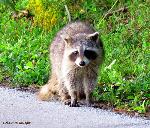 Raccoon | by Lois McNaught