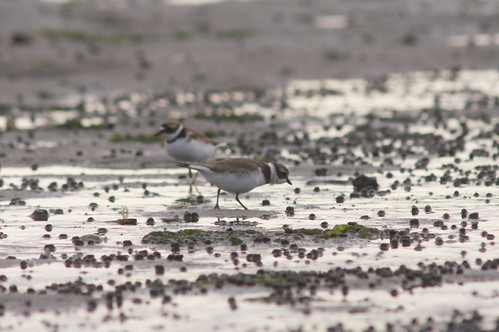 Semipalmated Sandpipers | by 9brandon