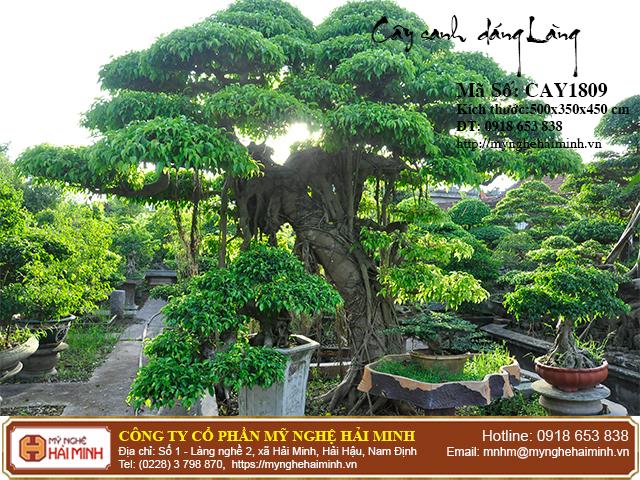 Cay Sanh Dang Lang mynghehaiminh CAY1809a