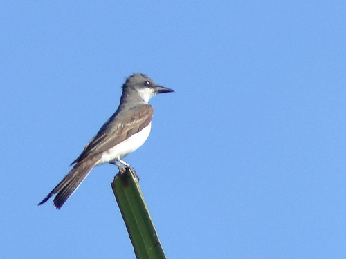 Gray Kingbird 04-20180823 | by Kenneth Cole Schneider