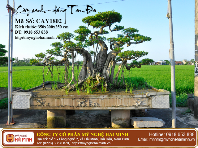 Cay Sanh Dang Tam Da mynghehaiminh CAY1802a