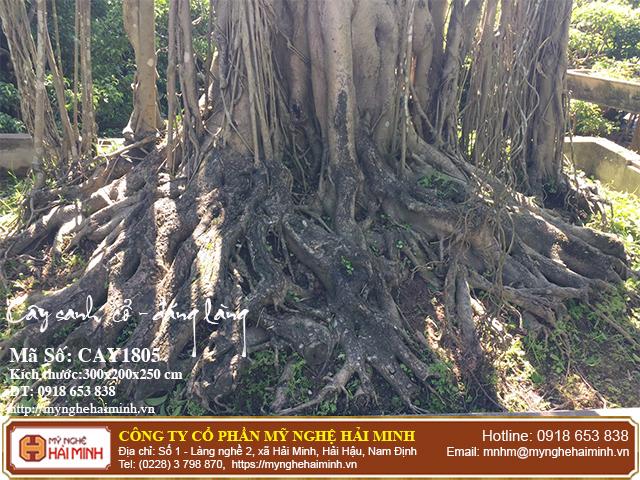 Cay Sanh Co Dang Lang CAY1805b