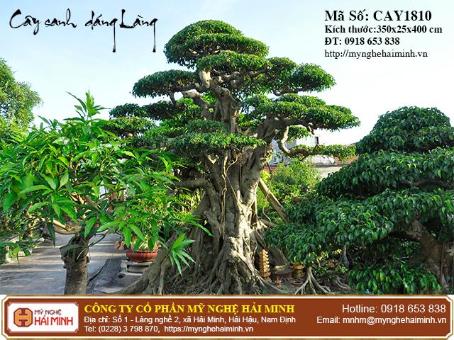 Cay Sanh Dang Lang mynghehaiminh CAY1810c