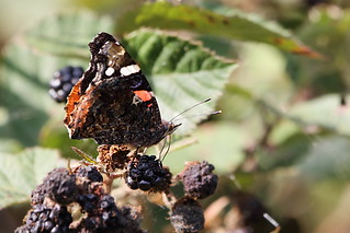 Red Admiral butterfly on a over-ripe blackberry | by Paul Marfell