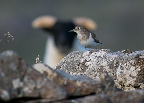 Common Sandpiper | by Bighair63