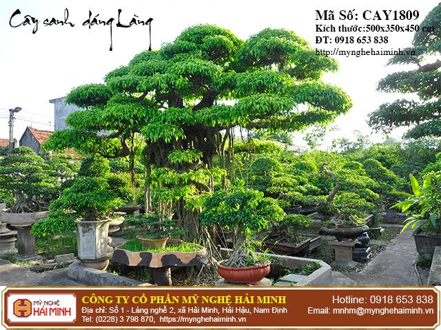 Cay Sanh Dang Lang mynghehaiminh CAY1809c