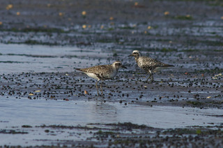 Golden Plovers | by 9brandon