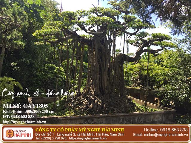 Cay Sanh Co Dang Lang CAY1805a