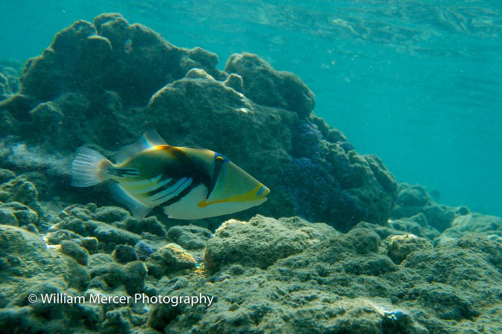 WilliamMercerPhotography Humuhumu Nukunuku Apuaa Reef Triggerfish