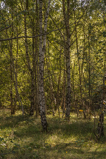 Frith Hill birches | by markhortonphotography