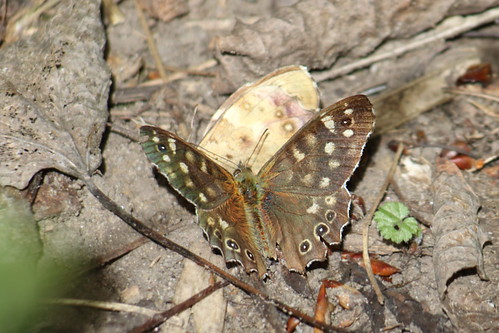Speckled Wood | by Paul Marfell