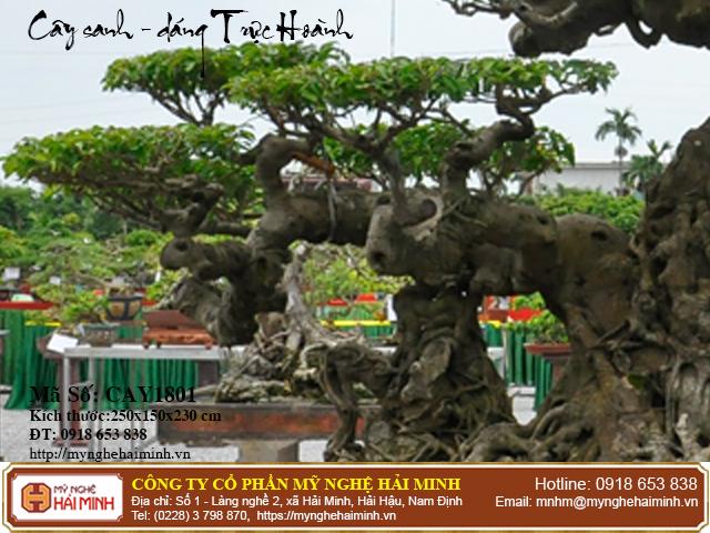 Cay Sanh Dang Truc Hoanh mynghehaiminh CAY1801f