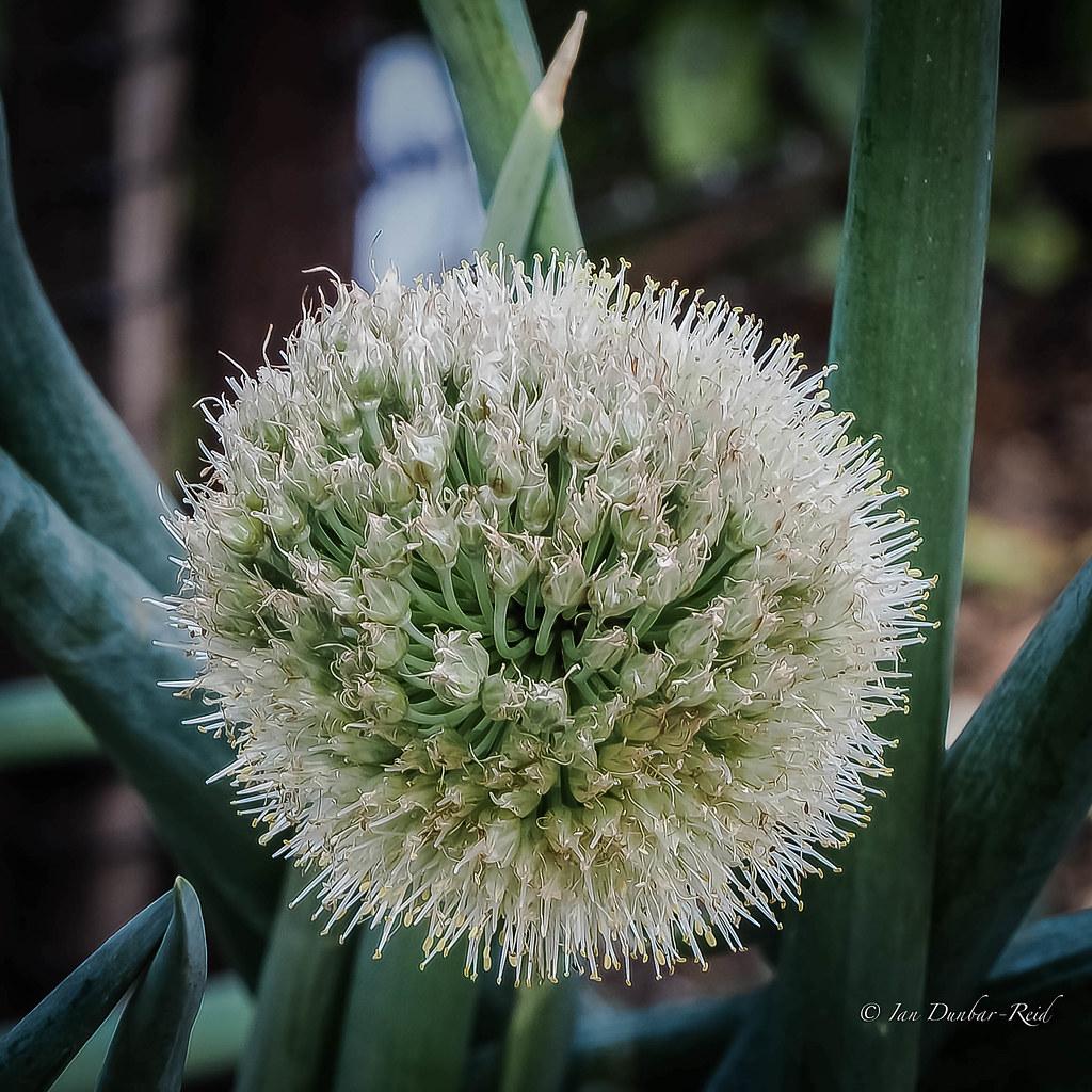 Spring Onion Flower Aka Scallion Or Green Onion In Mos Flickr