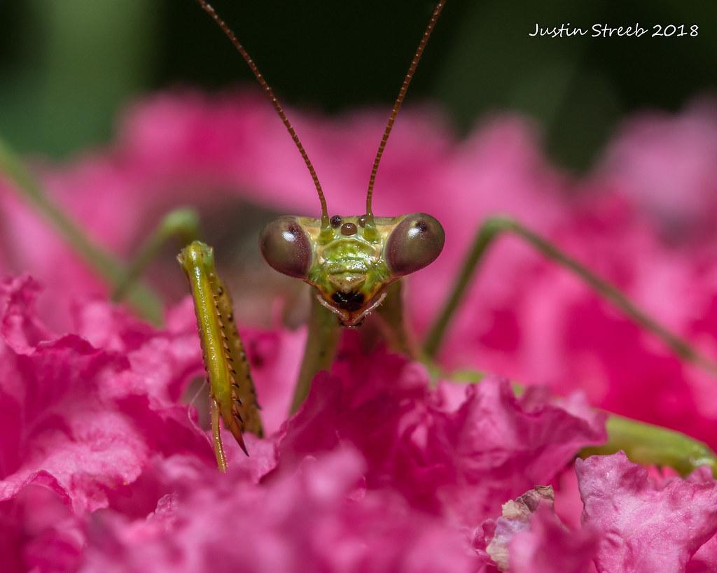 Praying Mantis Pink Flowers Justin Str Flickr