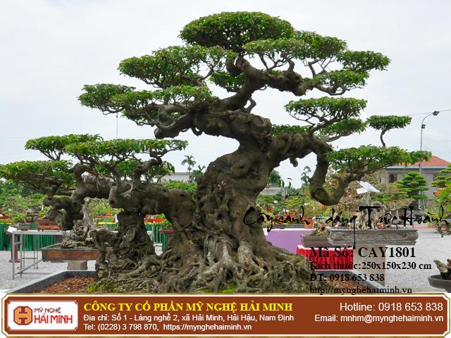Cay Sanh Dang Truc Hoanh mynghehaiminh CAY1801e