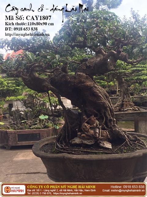 Cay Sanh Co Dang Lao Mai mynghehaiminh CAY1807a