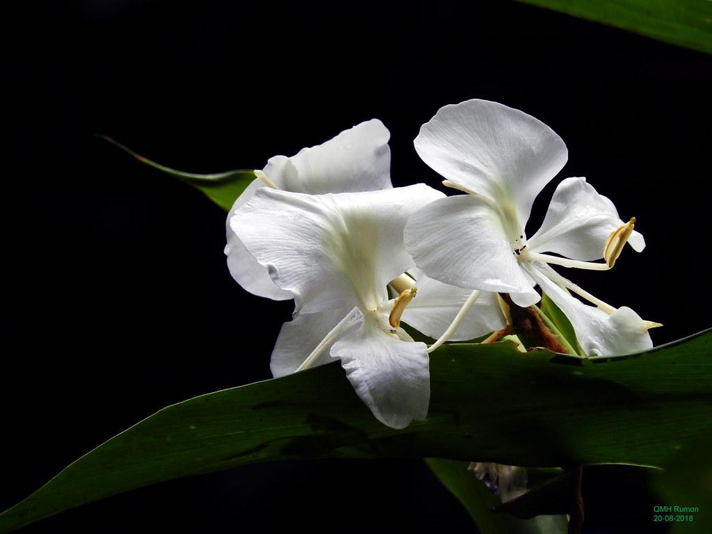 Hedychium Coronariumwhite Ginger Flowers