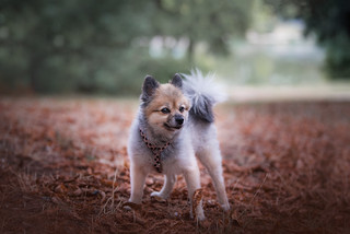Little fluffy pomeranian in leaves - June | by TheLittlePaws