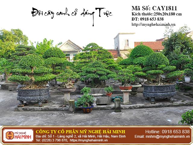Cay Sanh co Dang Truc mynghehaiminh CAY1811c