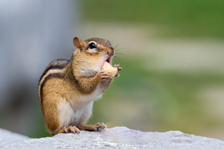 Chipmunk | by Jamie Lenh Photography