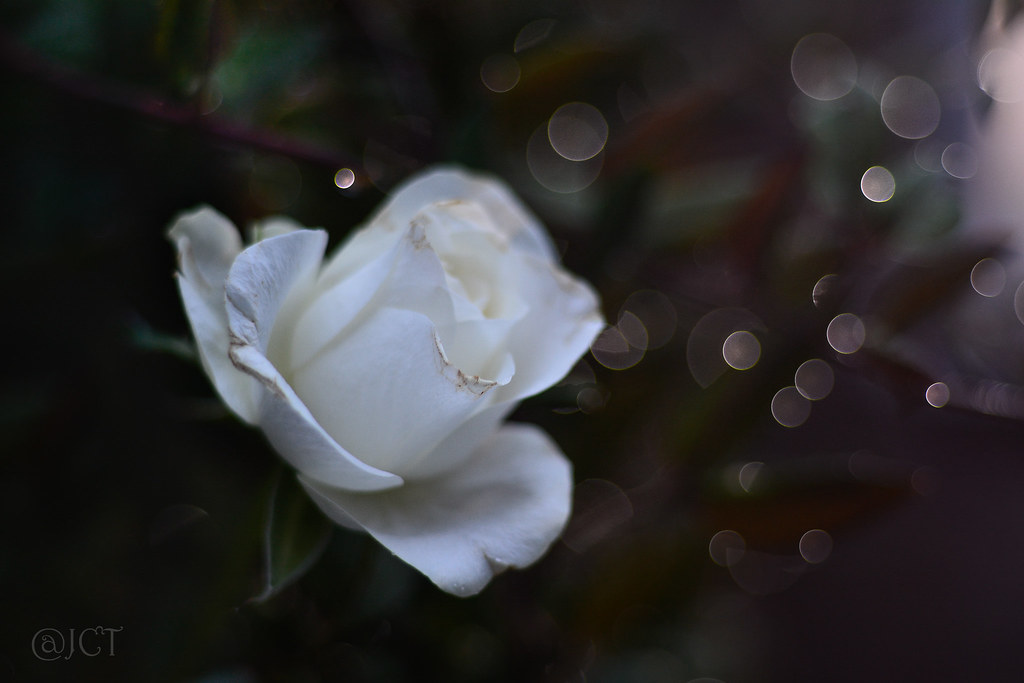 Rosa Blanca Nikkor 50mm F18 Ais Jose Cobo Flickr