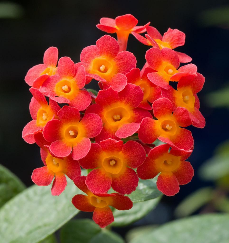 Orange Cluster Flowers Rondeletia Odorata Phipps Conserv Flickr