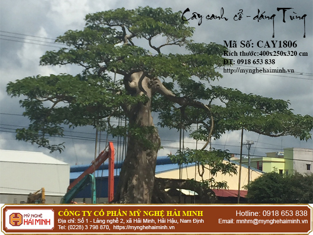 Cay Sanh Co Dang Tung mynghehaiminh CAY1806b