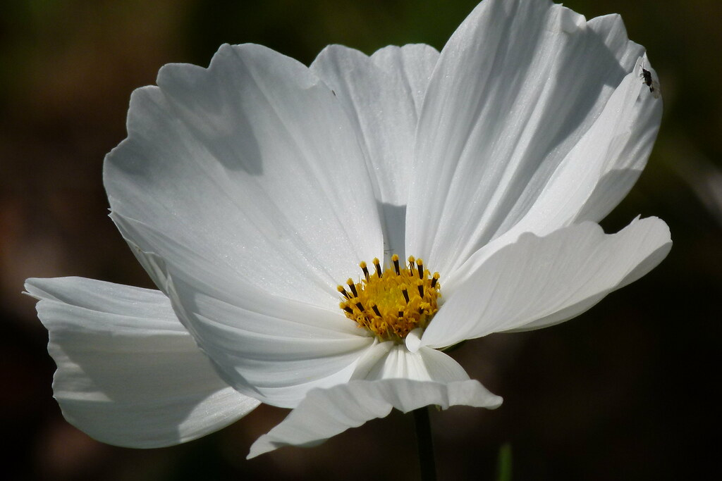 White Cosmos Flower Berit Sundman Flickr
