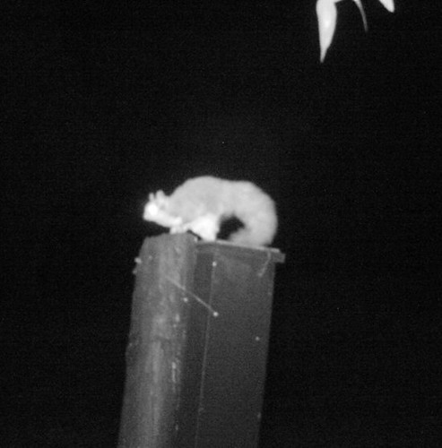 Squirrel Glider in Turq nest boxS B | by Friends of Chiltern Mt Pilot National Park