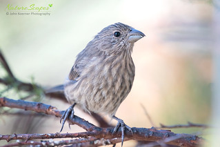 House Finch♀ | by NatureScapes007