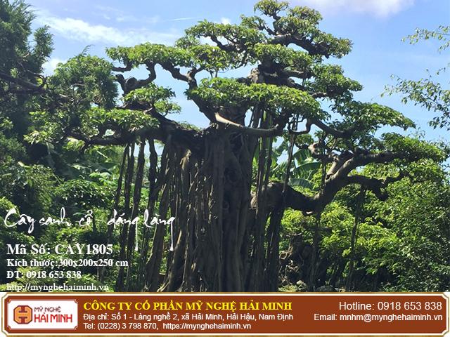 Cay Sanh Co Dang Lang CAY1805c